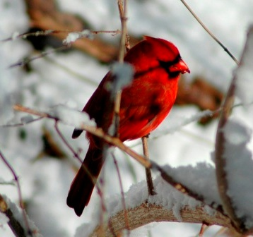 Cardinal_revised 2